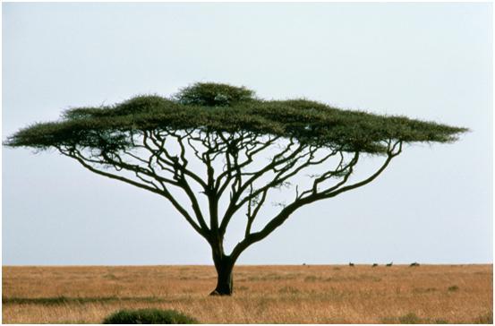 Acacia Wood Tamar Knochel